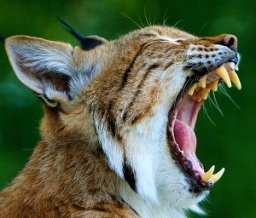 Carnivore (bobcat) Teeth, Photo by Karen Arnold, Pixabay