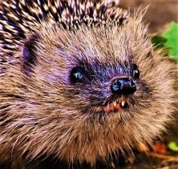 Insectivore (hedgehog) Teeth, Photo by Alexas_Fotos, Pixabay