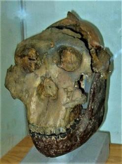 Nutcracker Man, Photo by RegentsPark, Wikimedia Commons