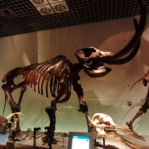 American Mastodon, National Museum of Nature and Science, Tokyo, Japan