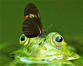 Butterfly & Frog, Photo by Frank Winkler, Pixabay-closeup 400px
