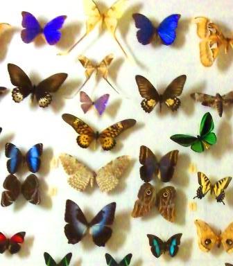 Lepidoptera, Michigan State University Museum, Photo by cjverb (2013)-1