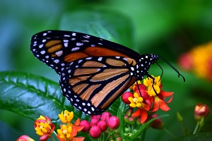 Monarch Butterfly, Photo by U. Leone, Pixabay
