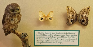 Saw-Whet Owl, Owl Butterfly & Io Moth, MSU Museum, Photo by cjverb