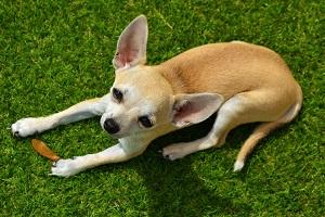 Chihuahua, Photo by Muriel Roustan, Pixabay