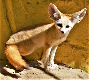 Fennec Fox, Photo by Stevie Lee, Pixabay