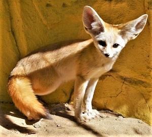 Fennec Fox, Photo by Stevie Lee, Pixabay