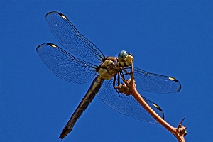 Libellula Comanche Photo by Judy Gallagher, Wikimedia Commons