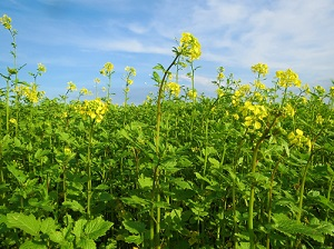 Mustard Plant, Wikimedia