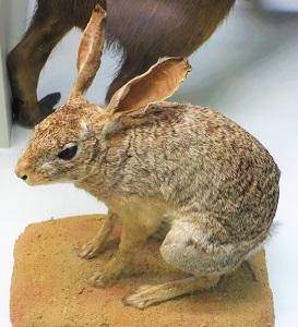 African Savanna Hare (Lepus Crawshayi), Museo Civico di Storia Naturale Giacomo Doria, Wikimedia Commons