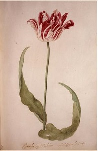Early Brabantson Tulip Folio (1643) by Judith Leyster, Wikimedia Commons