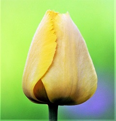 Tulip Bud, Photo by zoosnow, Pixabay