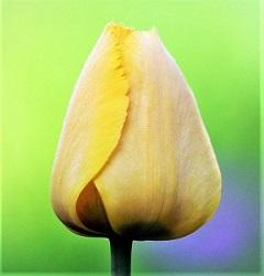 Tulip Bud, Photo by zoosnow, Pixabay