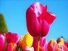 Tulip, Photo by Jochem van Stempvoort, Pixabay-100px