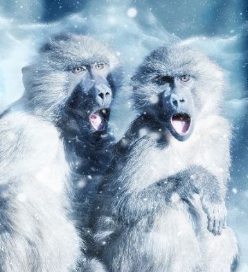 Monkeys in Snow, Photo by ractapopulous, Pixabay
