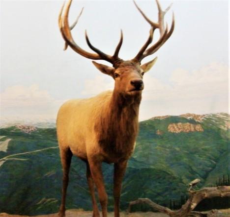 Bull Elk, Michigan State University Museum, Photo by cjverb (2013)