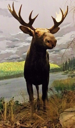 Bull Moose, Michigan State University Museum, Photo by cjverb (2013)