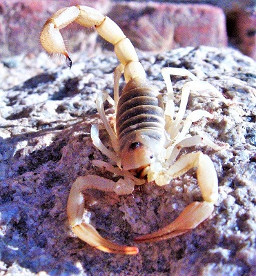 Scorpion, Photo by skeeze, Pixabay